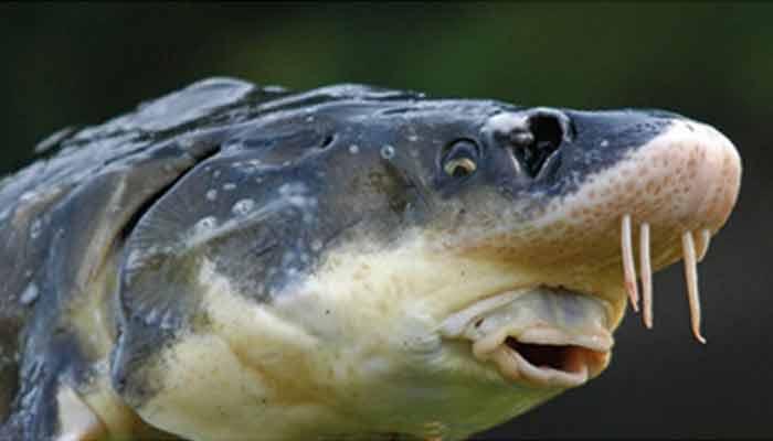 свежая рыбы | голова осетра